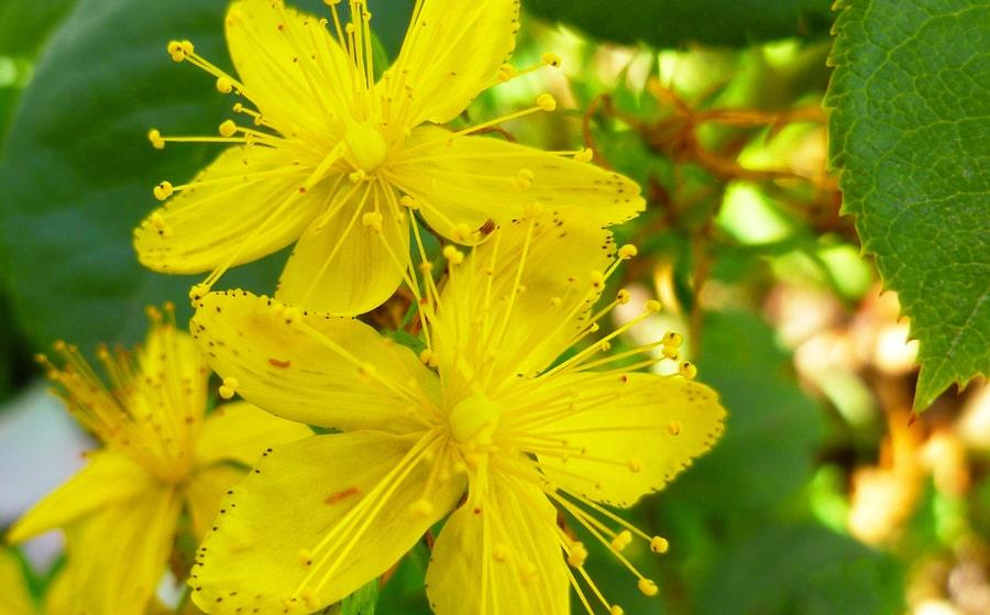 Hierba de San Juan, la hierba que ayuda a los trastornos del sueño |  Anastore