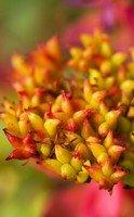 """Le Rhodiola, une plante """"secret défense"""""""