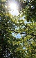 Ginkgo, l'arbre fossile qui améliore la mémoire