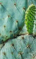 Nopal, le cactus qui capte les graisses et le sucre