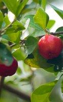 L'acérola, le fruit qui aide à prévenir la fatigue