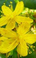 Millepertuis, la plante qui aide les troubles du sommeil
