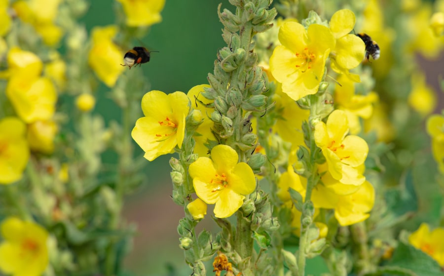 Plantes qui favorisent le système respiratoire