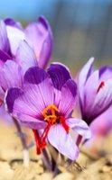 Les 4 bienfaits du safran pour la santé