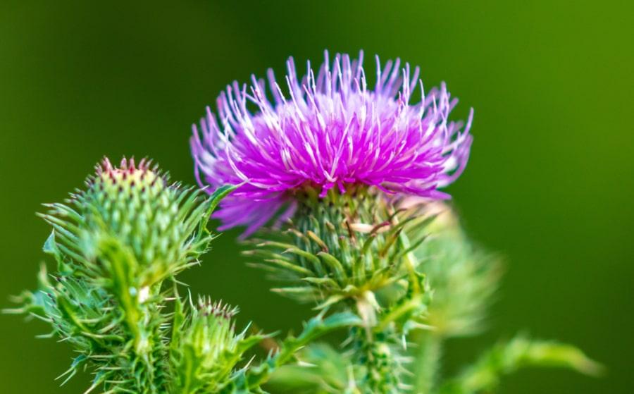 6 plantes naturelles pour un plan détox naturel