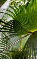 Sabal palmetto, la plante pour la santé de la prostate